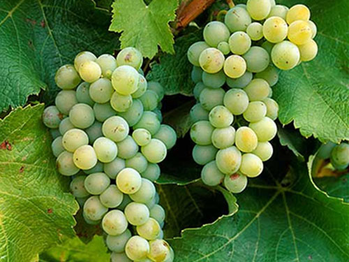 sauvignon_blanc_grapes.jpg