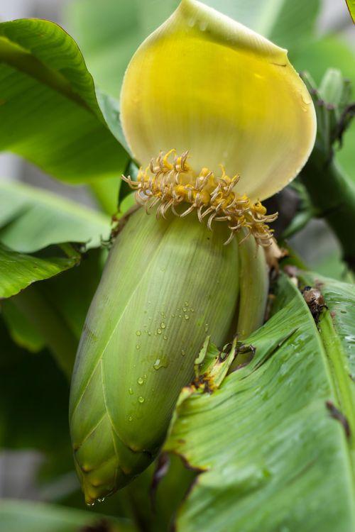 0911_banana1