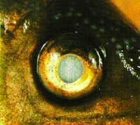 Eye Cloud Freshwater Fish Disease