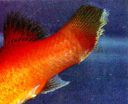 Fin Tail Rot Freshwater Fish Disease