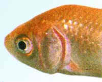 Gill Disease in Freshwater Fish