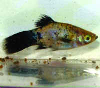 Gourami Disease in Freshwater Fish