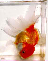 Swim Bladder Disease in Freshwater Fish