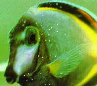 Ich, Ick, or White Spot Disease in Saltwater Fish