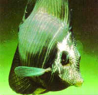 Hole In Head Saltwater Fish Disease