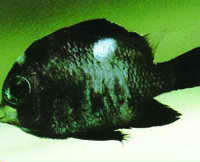 Unidentified Parasites Saltwater Fish Disease
