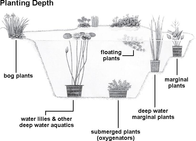 How to acclimate and plant your pond plants pet care corner for Garden pond depth