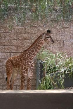 giraffebaby.jpg