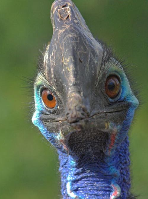The horned cassowary bird
