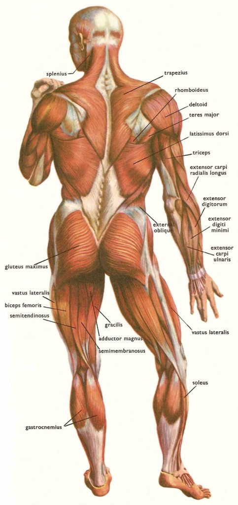 muscles_human_body_back