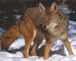 Coyote_full_body_photo