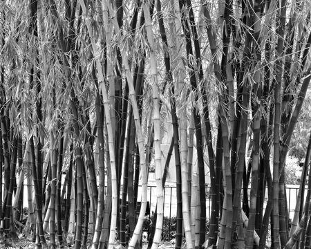 univ-tampa-bamboo-1-bw.jpg