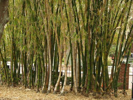 univ-tampa-bamboo-1.jpg
