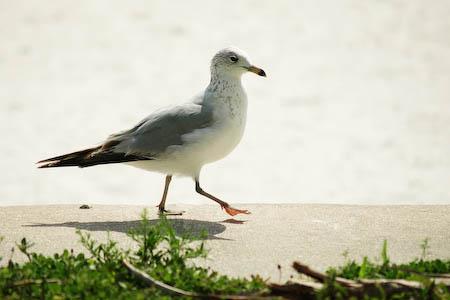 041108-seagull.jpg