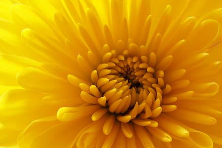 042608-yellow-mums.jpg