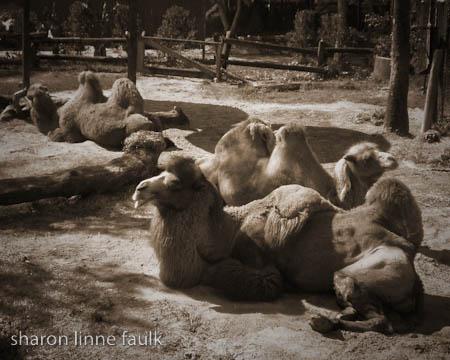 052609-camels