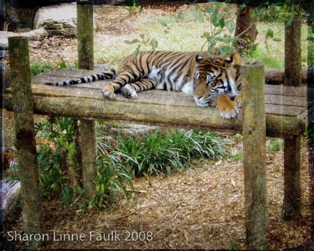 052709-tiger