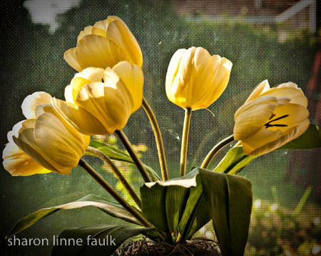 060809-tulips