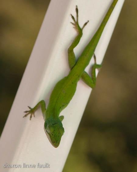 061209 lizard
