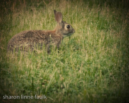 061709 rabbit