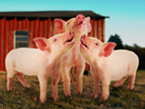 boston-conservatory-three-pigs.jpg