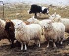 drumlin-farm-woolapalooza.jpg