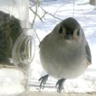 birds1-titmouseatfeeder.jpg