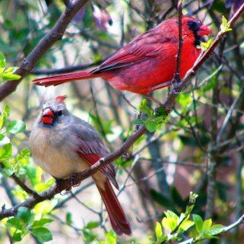 birds4-cardinal.jpg