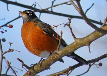 birds6-robin.jpg