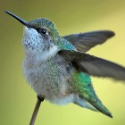 hummingbird-PhilBrown.jpg