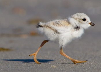 beach-2-piping-plover-chick.jpg