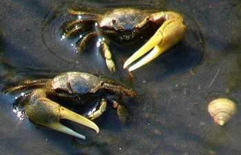 beach-5-fiddler-crabs.jpg