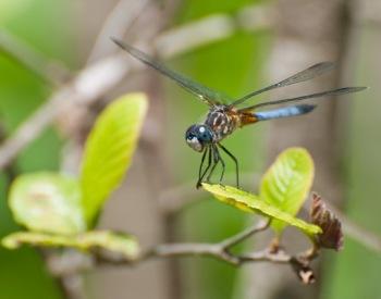 odes-3-BlueDasherMaleDragonfly.jpg