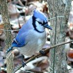 bluejay-ken-thomas.jpg