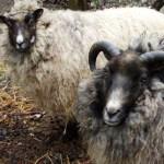 pem-sheep.jpg