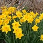 nantucket-daffodils.jpg
