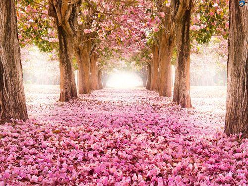 Cherry-blossoms-8a
