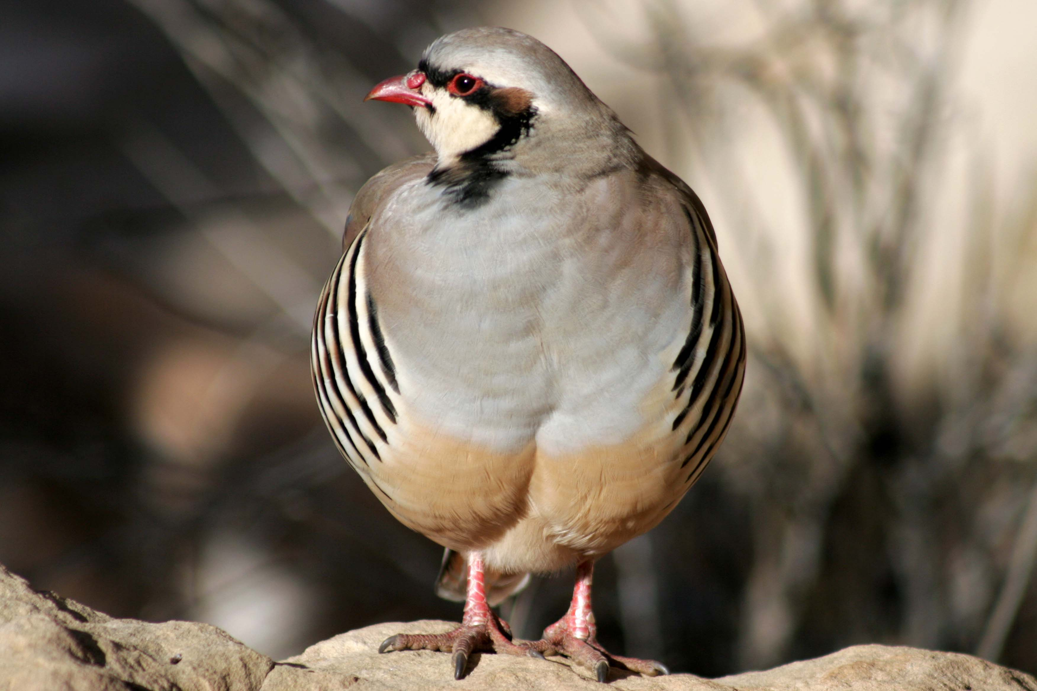 Chukar in Capital reef NP
