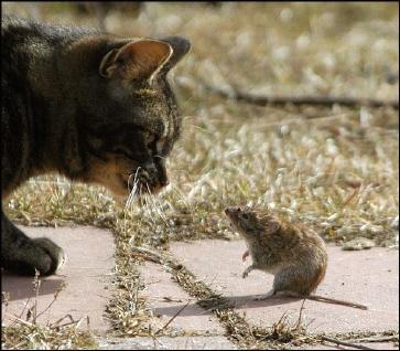 cat__mouse.jpg
