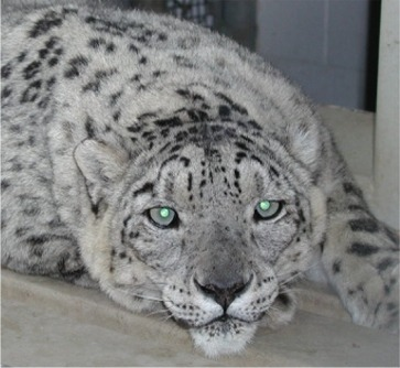 Osa, the Snow Leopard.jpg