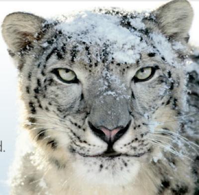 snow leopard 2.png