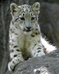 snow-leopard-cub.jpg