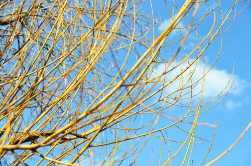 the-willow-buds-are-golden.jpg