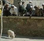 THE PIG OF AFGHANISTAN IN HAPPIER TIMES