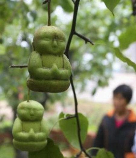 Buddah Pear Tree