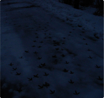 Crow_tracks_dark2