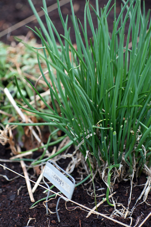 chives-1