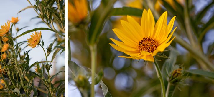 sunflowers merge