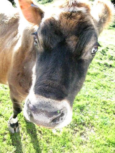 Ada the cow.jpg