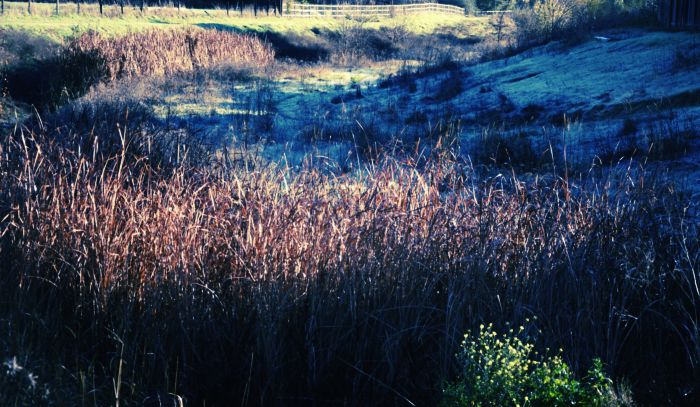 Frostweed6